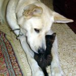 Chade: In memory of a wild Canaan dog who made himself at home in our hearts